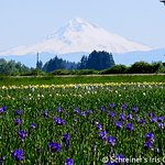Mt. Hood provides majestic backdrop to fields of Iris.