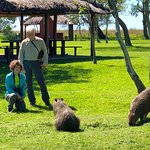 The capybaras are protected in the Ibera Wetlands National Park, so they have no fear of people.