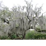 Huge Oak Tree overhung with Spanish Moss