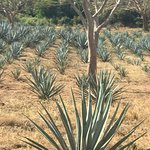 Blue Agave Fields (takes 6 years before it can be used for tequila)