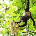 A baby howler monkey passing thru the Harmony gardens