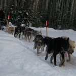Happy huskies returning to the kennel after a 10 mile run.
