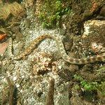Snake eel