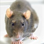 rat_large.jpg