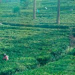 More tea plantations - taken from moving train