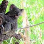 The koalas wake up and put on a show