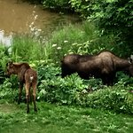 Moose at our pond