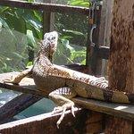 Foto de Green Iguana Conservation Project