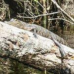 one of many gators we saw