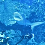 Shark at cleaning station on the back wall of Molokini