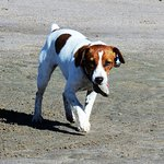 Our 1 year old Jack Russell (Pixie) playing on the beach