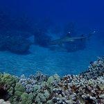White Tip Coral Shark