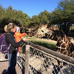 Feeding the giraffes.
