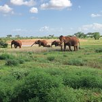 The famous red elephants of Tsavo