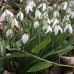 Snowdrops were absolutely amazing!