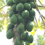 Papaya tree at Garden Island Grille