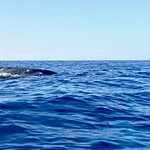 Baby humpback whale. Photo by Emily from Hawaiian Paddle sports.