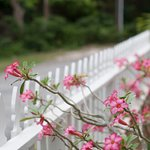 Flowers along front fence at Pyfrom