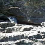 Fairy Penguin - looks bright blue in the right sunlight, iridescent.