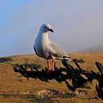 Red-billed gull at the Centre
