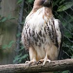 A few raptors are found at the Western North Carolina Nature Center in Asheville.