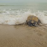 The leatherback turtle returns to the ocean