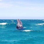 Magdalena Bay Whales – fénykép