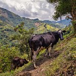 Cows in the beautiful Andes mountains