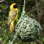 Weaver Birds off the Patio