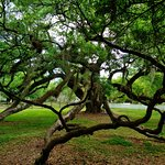 Ancient live oak.