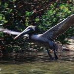 Pelican taking flight, viewed from SB Explorer boat, at bird nesting rookery...