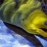 Large Green Moray in one of the many Mote aquarium tanks...