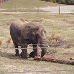 Elephant from the Safari