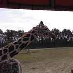 Giraffe from the best Safari I've ever done- that includes Disney's, one in Virginia, & Parc Saf
