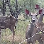 These Kudu came every day for a visit .Some time as many as 8