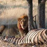 Lion on a kill at Chobe National Park