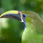 Emerald Toucanette on the bird feeder