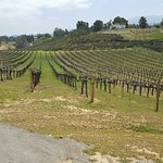 Bella Vista Winery Grape Fields