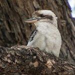 A Kookabura nearby on a tree