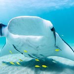 Manta Rays, Beautiful creatures feeding and mating in the sand patches