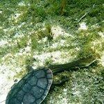 Fraser IslandBroad-shelled turtle (Macrochelodina expansa) - Lake McKenzie