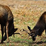 Playful rutting