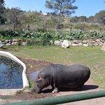 Nous pensions que l'hippopotame allait tomber à chaque pas.... un problème de santé ?
