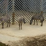If we stand near the fence, our stripes will blend in