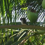 A bird in the coconut tree outside our room