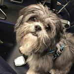 Quincy my Shitsu Service Dog.