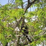Howler Monkey seen from our window