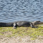 This alligator was grunting