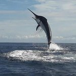 Although rare we can sometimes get you one of these, A Black Marlin