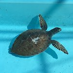 Turtle being nursed back to health at center